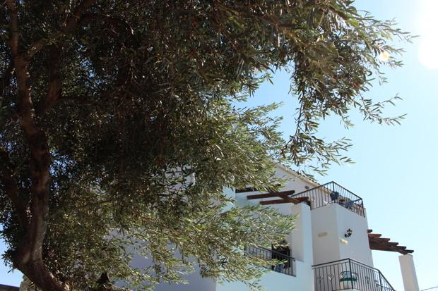 kreta-olive-tree