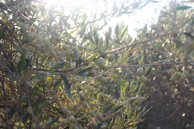 olivenplantage-kreta